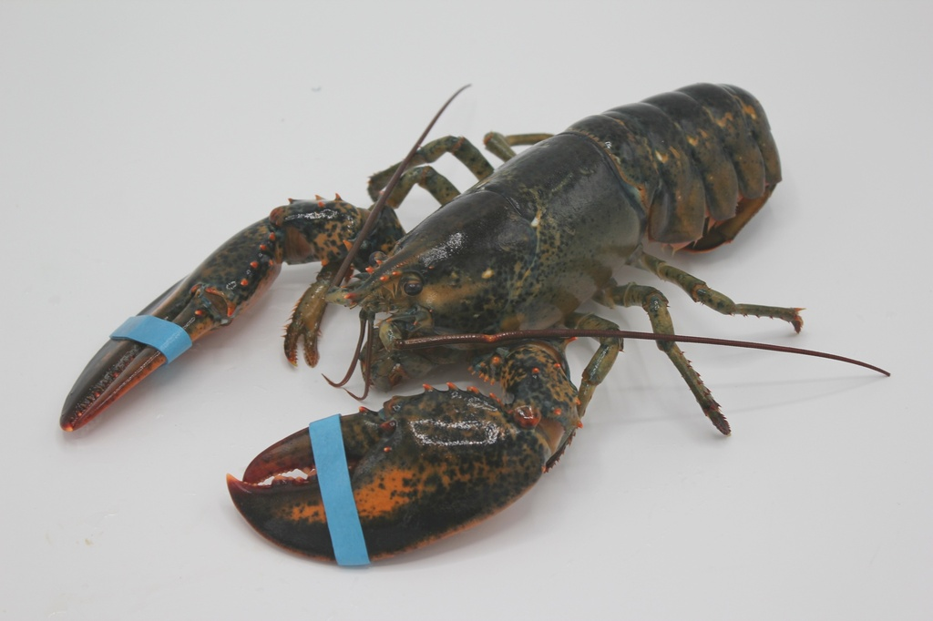 Canadian Lobster (5-6 lbs/each)