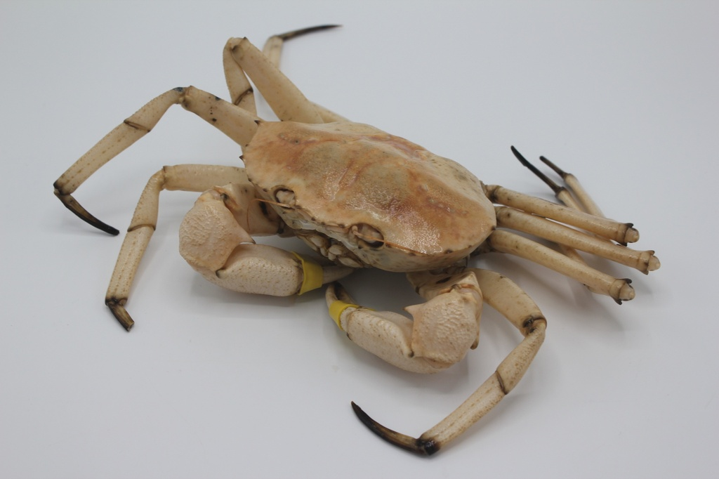 Golden Crab #2 (1.5-2 lb/each)