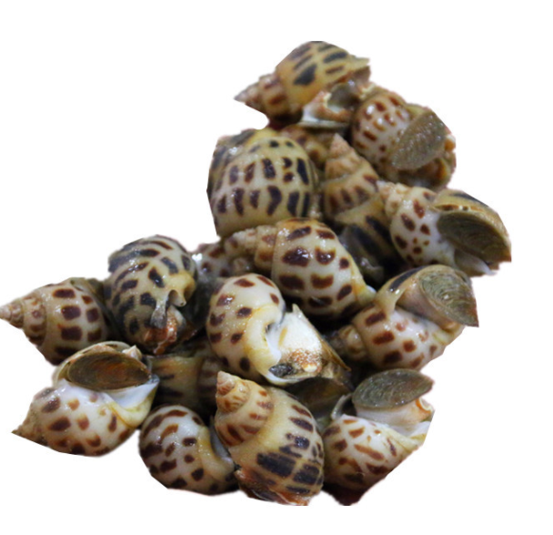 Live Sea Whelks 2lbs / bag