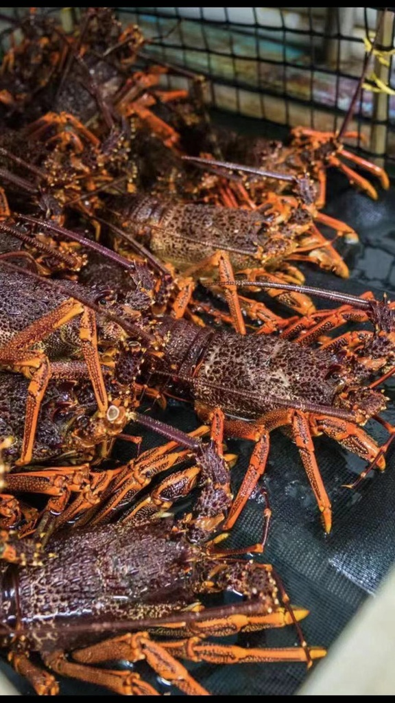 Australian Southern Rock Lobster / *** $32 for per lbs price ***