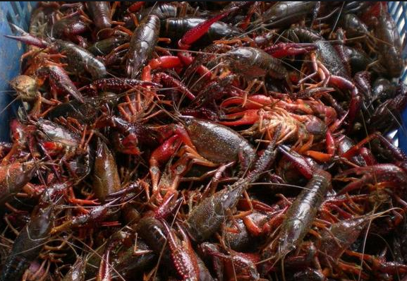 Live Louisiana Crawfish  5lbs /pack